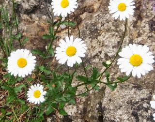 Margarita (Leuncanthemum vulgare)