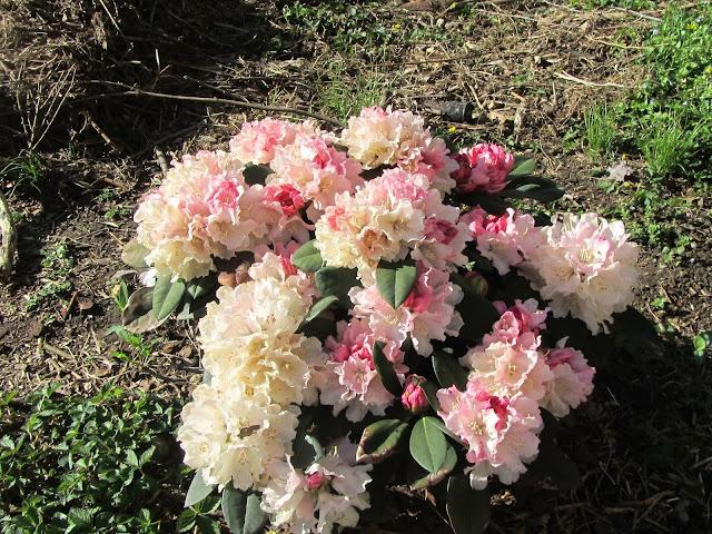 Fioritura Rhododendron yakushimanum