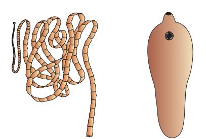 Ciri ciri filum aschelminthes
