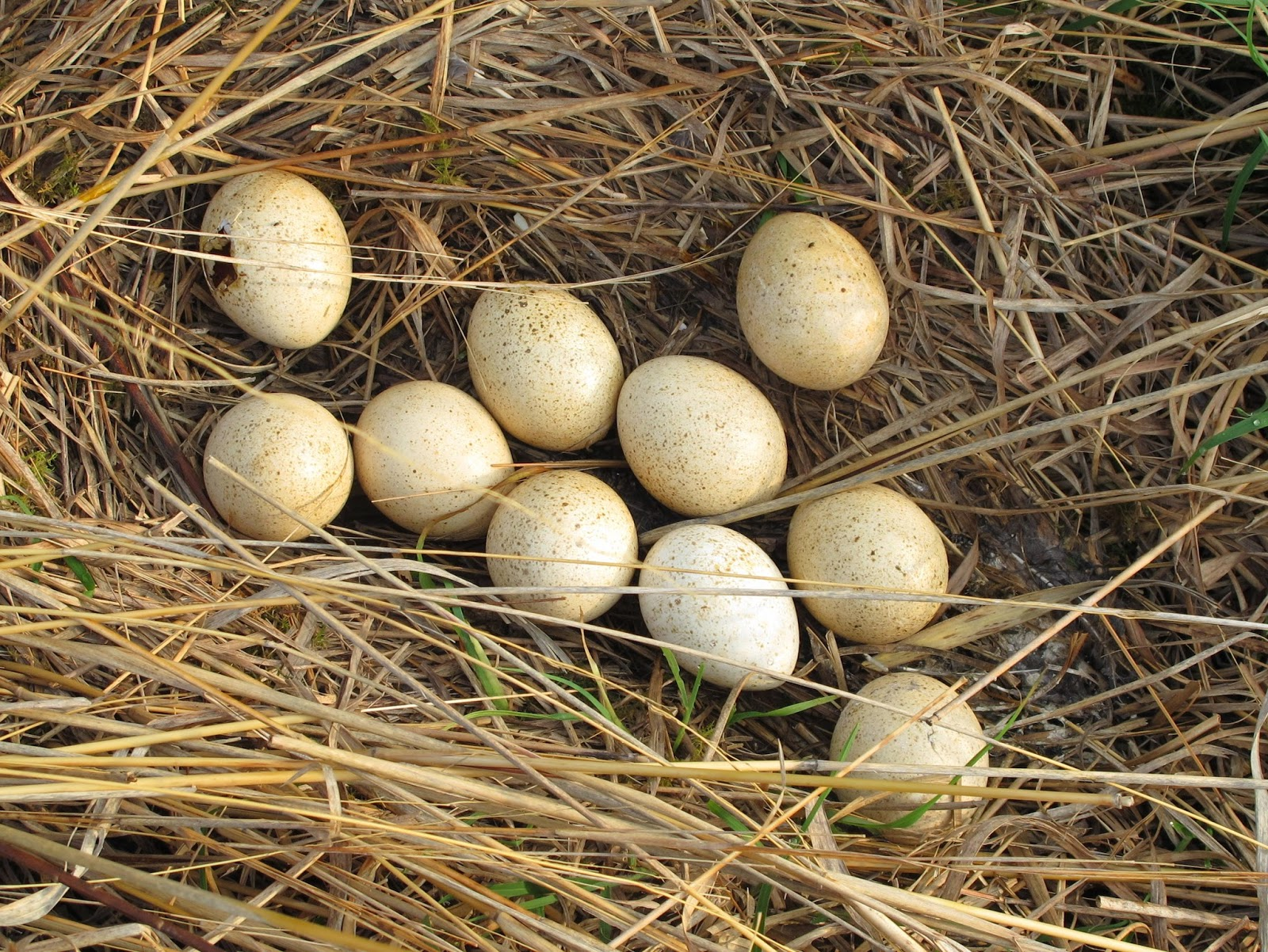 Turkey eggs hatching