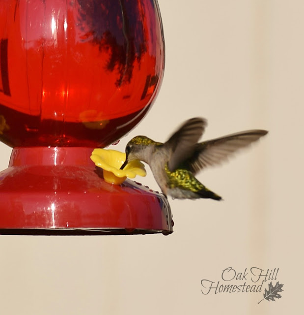 Homemade hummingbird nectar is easy to make.