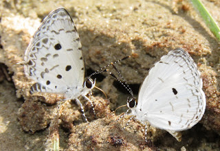Megisba malaya, the Malayan (left), Lestranicus transpecta, White-banded Hedge Blue (right)