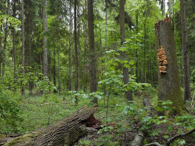 غابات,بيالويزا,أوروبا,الغابات البدائية