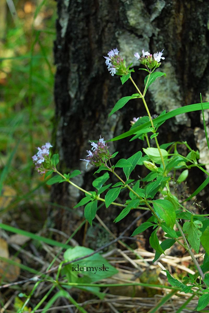 dzikie oregano, dzikie rośliny jadalne, dzikie zioła, origanum vulgare, wild oregano