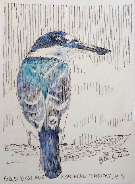 Forest Kingfisher, Darwin, Northern Territory, NT, Australia, David Dalzell, the wandering artist