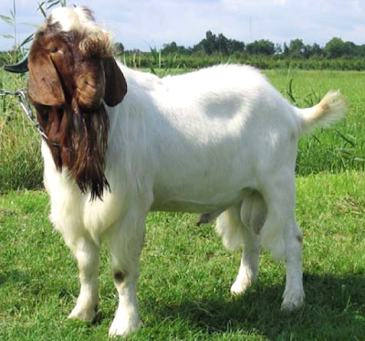 goat farming, goat rearing, raising goat, keeping goat, goat farm