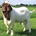 Goat Farming Information & Guide