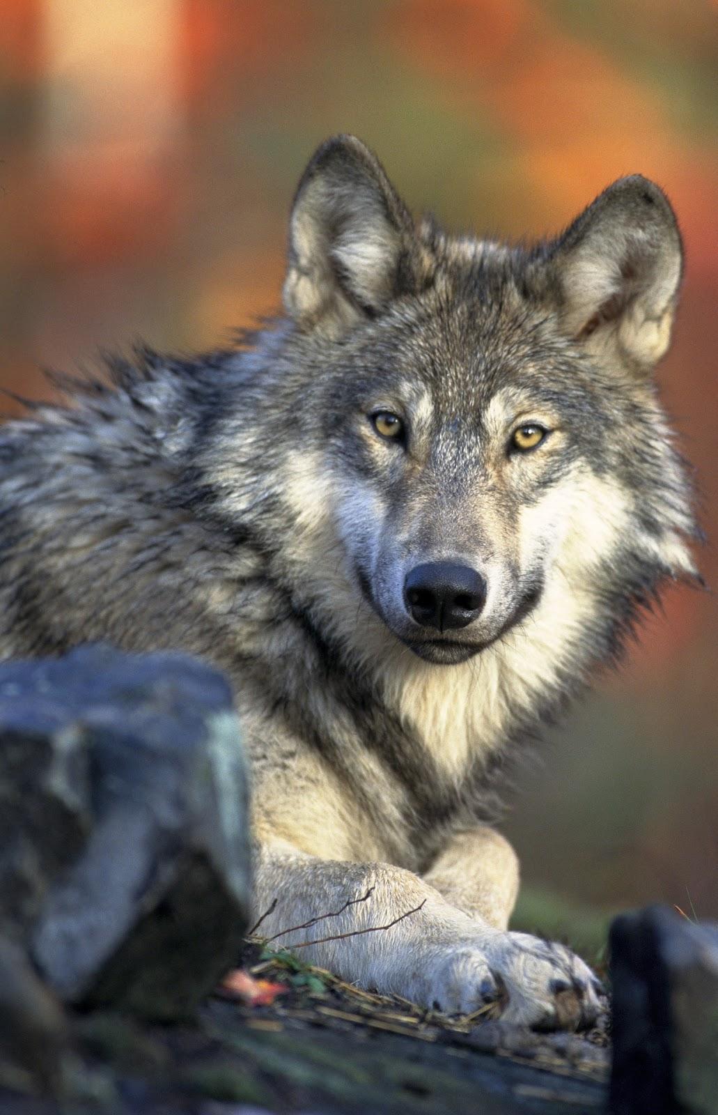 A cute wolf.