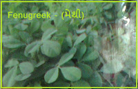 fenugreek seed in ahmedabad India