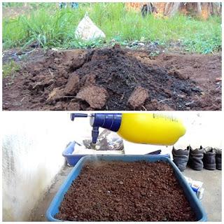 Cara menanam cabe rawit di polybag pada halaman rumah
