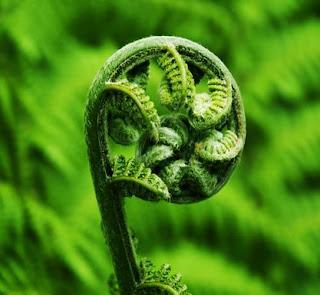 Simbolos maoríes y su significado Koru