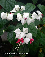 Clerodendrum thomsoniae