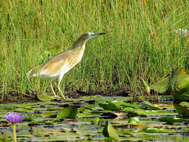 Common Squacco Heron in Uganda