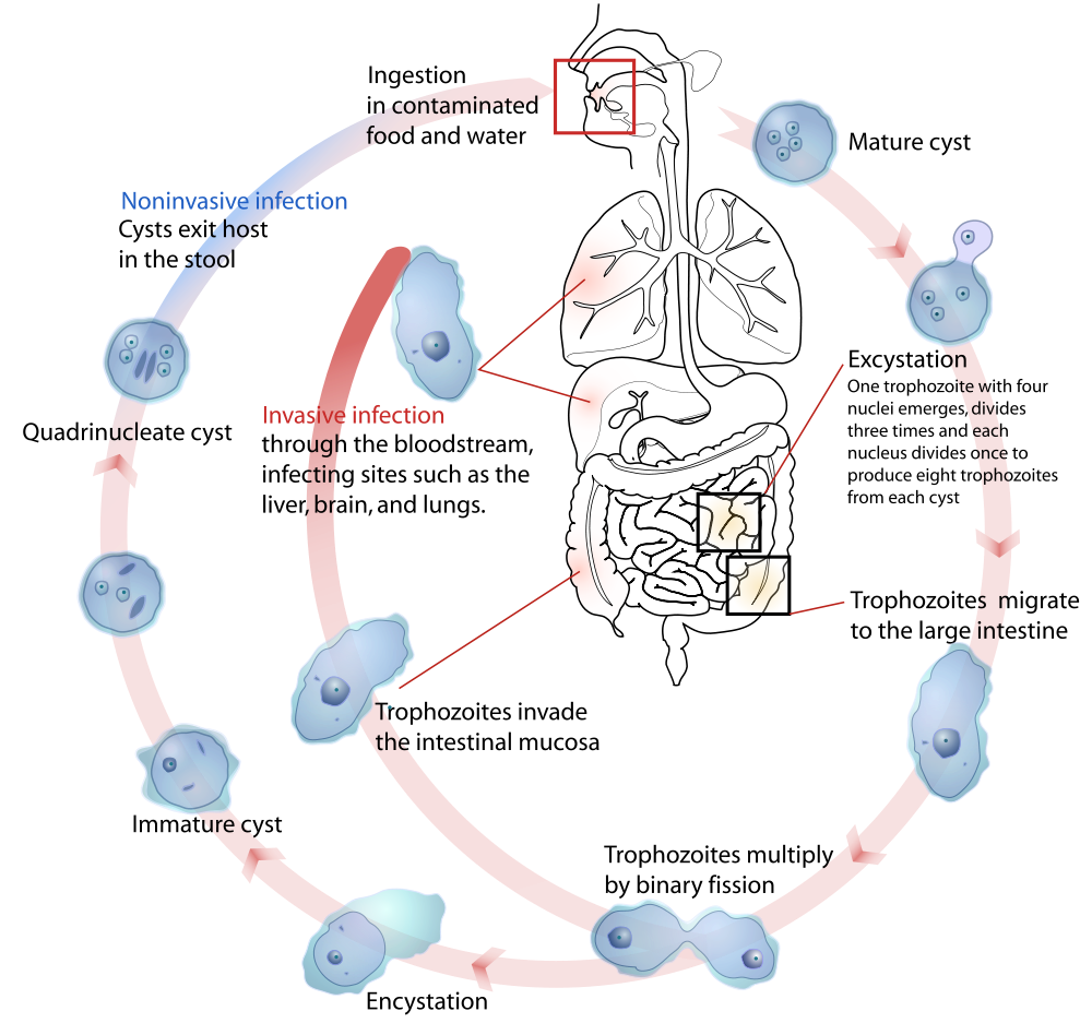 small resolution of another nice depiction of the life cycle by mariana ruiz villarreal that clearly distinguishes between invasive and non invasive disease is shown here