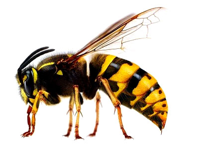 Seperti Lebah