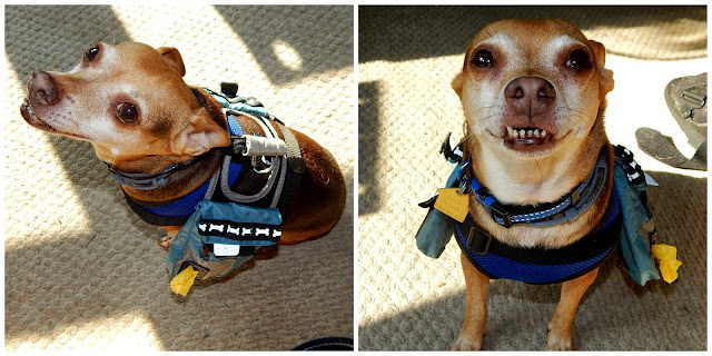 ScoobyDoo,#chihuahua, modeling back pack photo