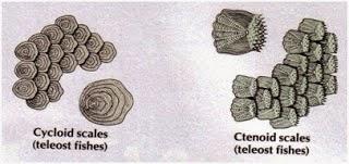 sisik tipe cycloid dan ctenoid