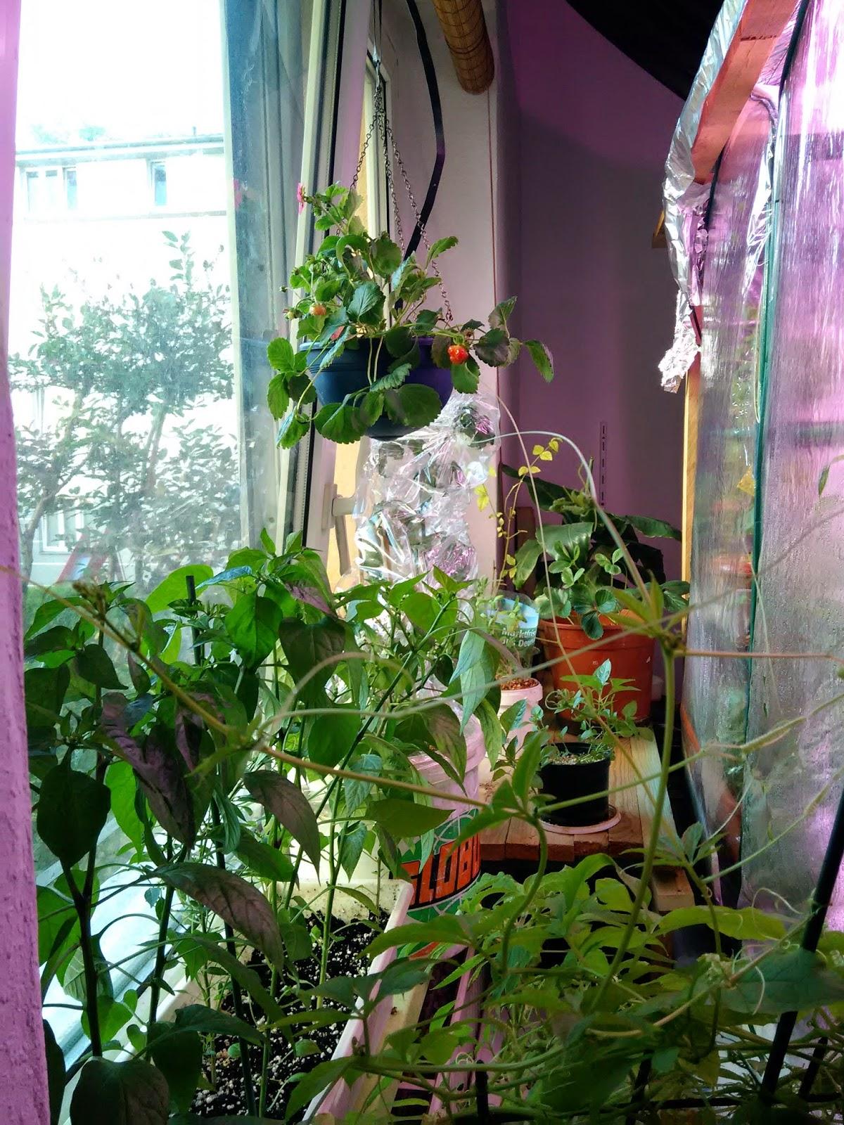 selbstversorgung exotische einheimische pflanzen im zimmer und garten neues aus dem. Black Bedroom Furniture Sets. Home Design Ideas