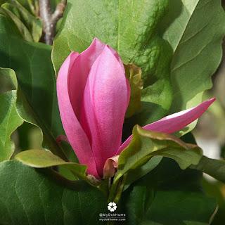 แมกโนเลียเจน (Magnolia Jane) จำปาแดง ดอกไม้หอม