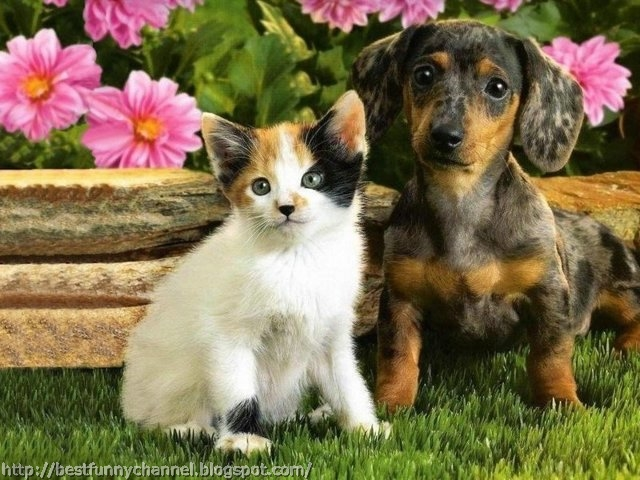Dachshund and kitten.
