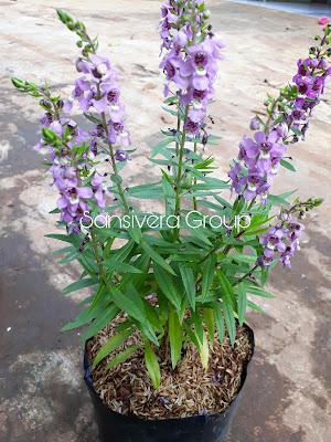 Tanaman Indoor Lavender