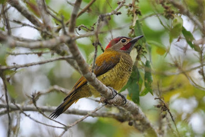 Golden olive Woodpecker