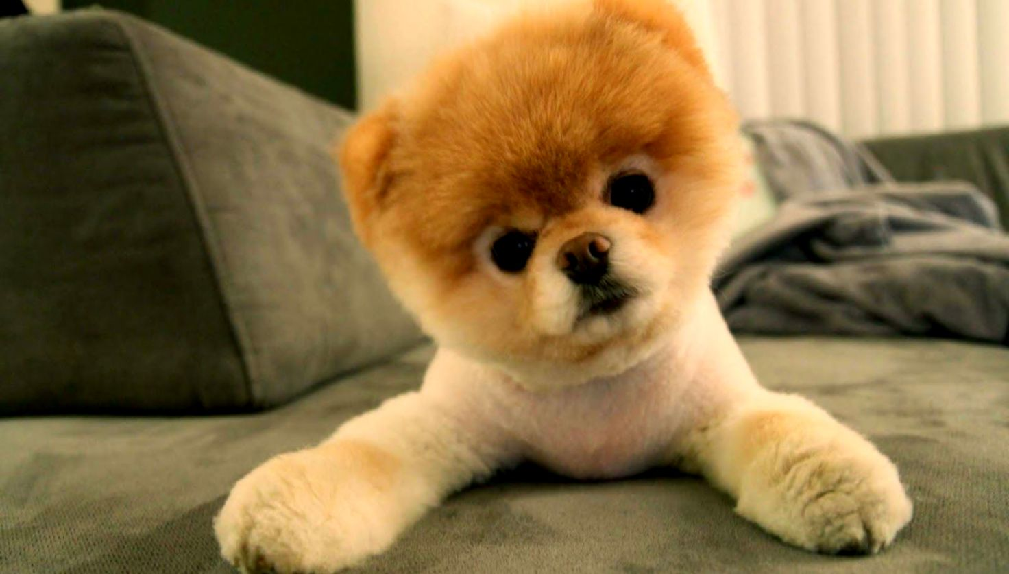 Funny Dogs Pomeranian Wallpaper Hd Pack Wallpapers