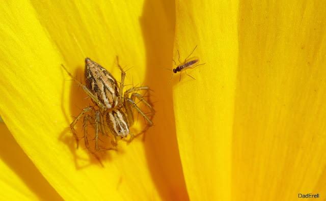 Araignée Lynx et moucheron sur un œil de jeune fille