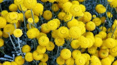 Santolina: plantas mediterráneas en jardines mediterráneos