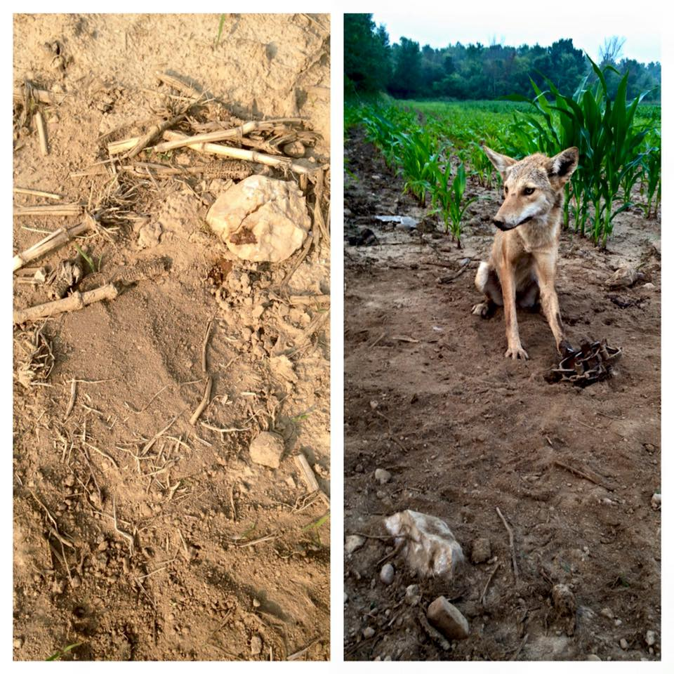 Skye Goode Wisconsin Adc Spring Coyote Nuisance Trapping