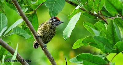 Golden spangled Piculet