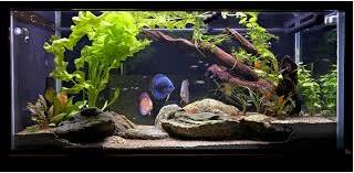 seterilisasi ikan diskus dalam aquarium