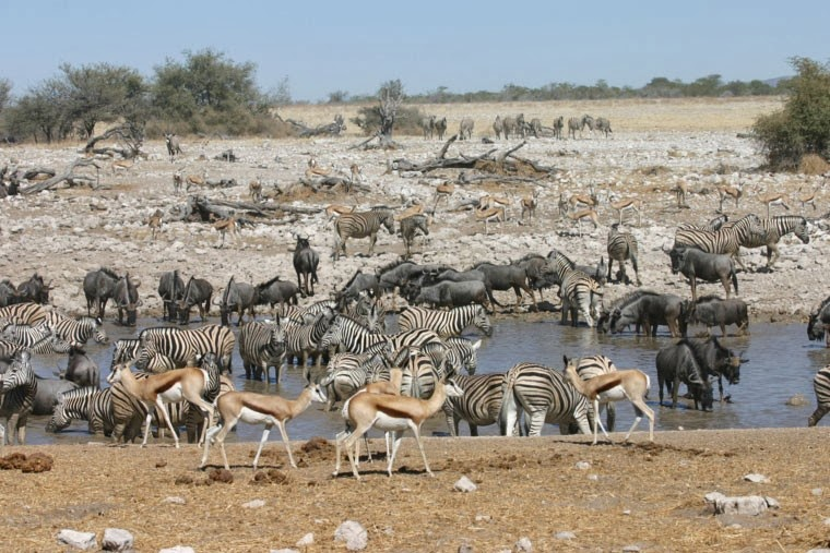 A picture of animals in africa around a watering hole