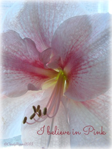 I Believe in Pink, Audrey Hepburn quote, Apple Blossom Amaryllis, Florals, Family, Faith, Cindy Rippe