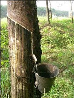 sejarah tanaman pohon karet