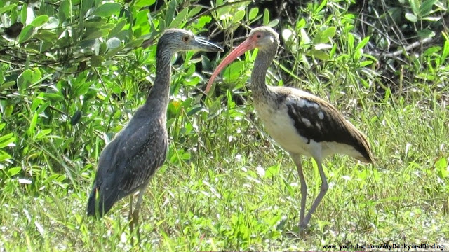 juvenile Yellow-Crowned Night Heron and juvenile White Ibis