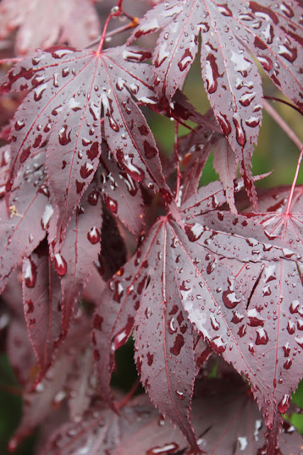 learning all the time raindrops on maple leaves