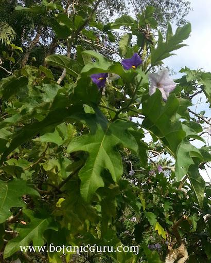 Solanum wrightii leaves