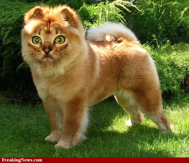 Dogs Bred To Look Like Cats