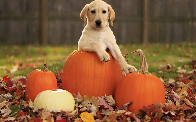 Hond in een Halloween pompoen