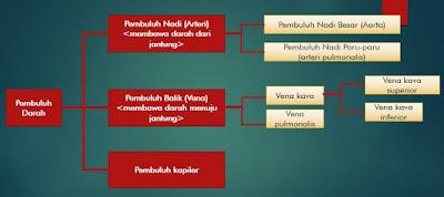 Perbedaan Pembuluh Nadi (Arteri) dan Pembuluh Balik (Vena)