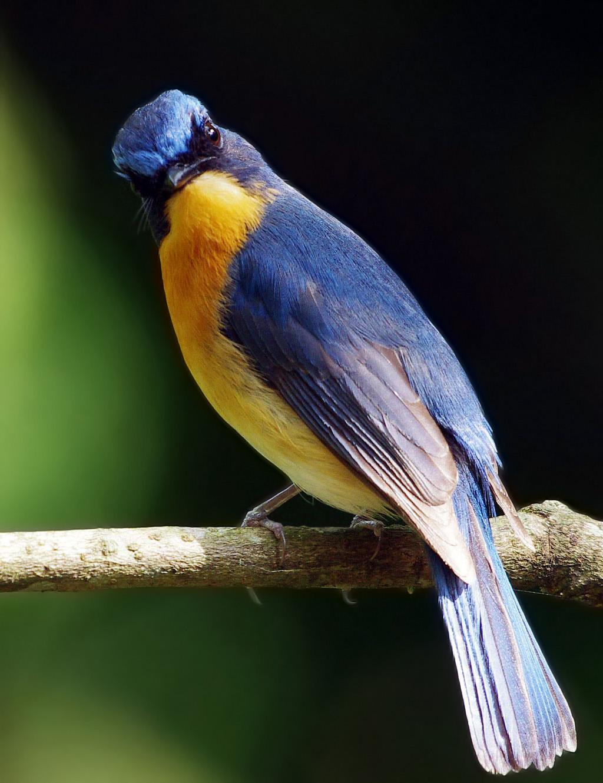 Contoh Artikel Berita Mengenal Burung Tledekan Gunung