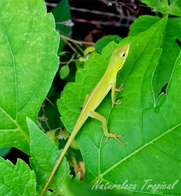 Fotografía de una especie de lagartija, Anolis porcatus