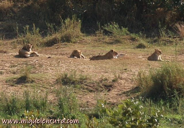 Leones-Lower-Sabie-safari-Kruger