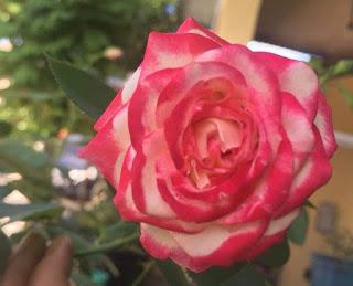 Unduh Walpaper Bunga Mawar Terbaik 2018