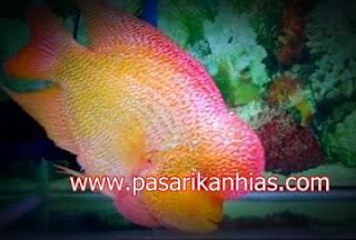Type Ikan Hias Louhan indonesia Strom
