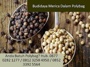 Budidaya Merica Dalam Polybag