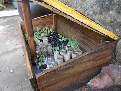 Seedlings in the coldframe Green Fingered Blog