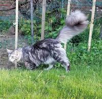 ukuran kucing maine coon dewasa