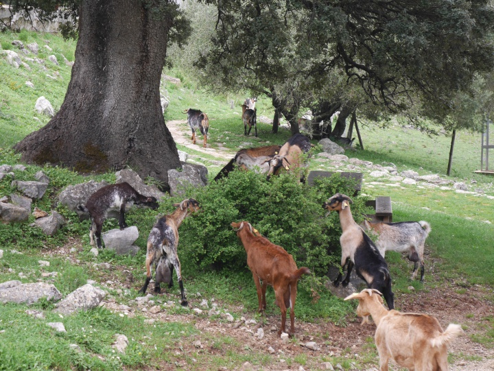 Goats on the street in Sierra de Grazalema, Spain
